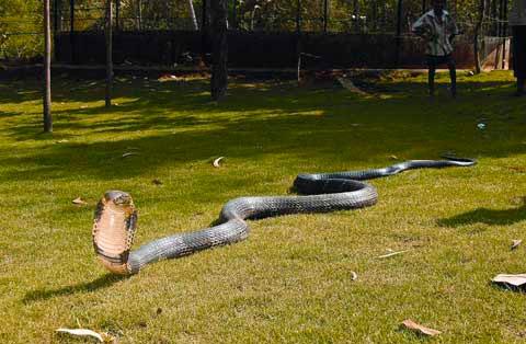 Королевская кобра - самая крупная из всех ядовитых змей в мире