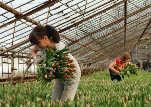 Разнорабочие на срез тюльпанов