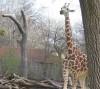 Жирафикa