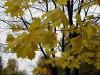"""""""... желтый лист кленовый"""""""