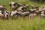 Овцы романовской породы