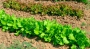 Как выращивать шпинат в домашних условиях