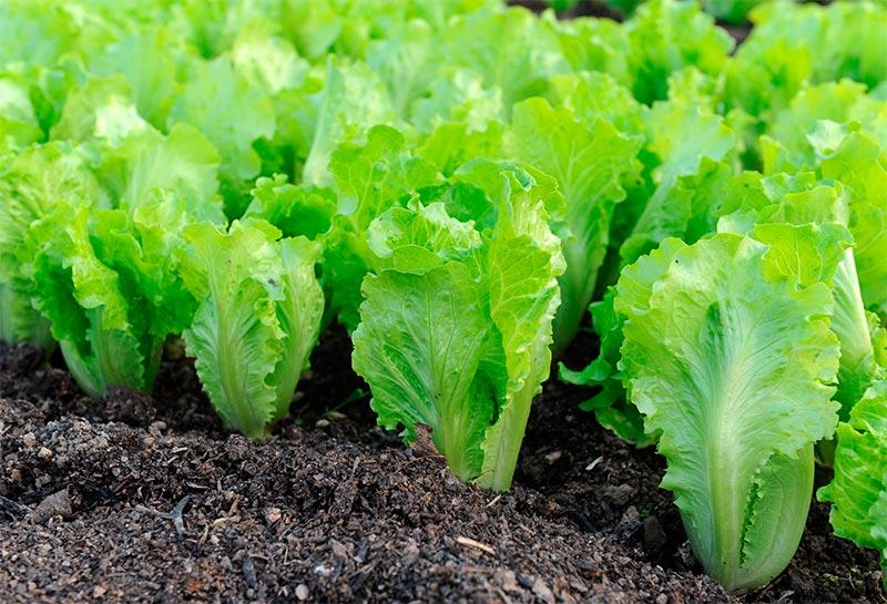 Многолетние растения для салата