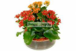 Композиция из комнатных растений Каланхоэ от Flower-shop.ru