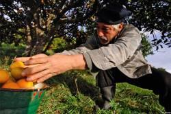 Абхазия станет главным поставщиком цитрусовых в Россию