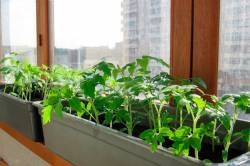 Как вырастить рассаду в домашних условиях