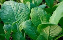 Горчица, кресс-салат, Огуречная трава, свекла листовая, Эндивий